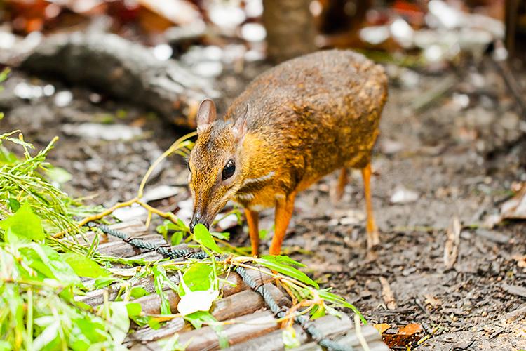 Самая маленькая в мире антилопа